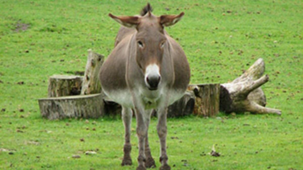 Donkey File Photo