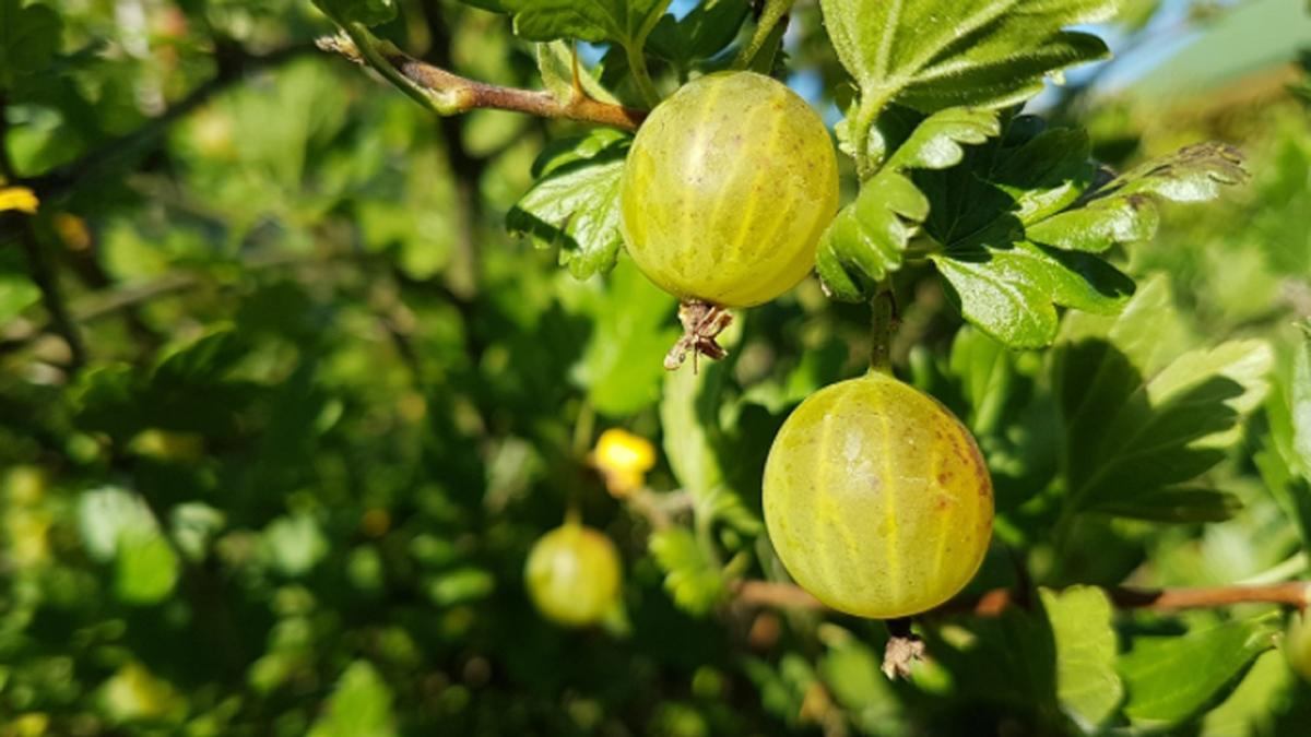 Benefits of Amla: Amla juice is not less than a boon for health, these are  7 big benefits