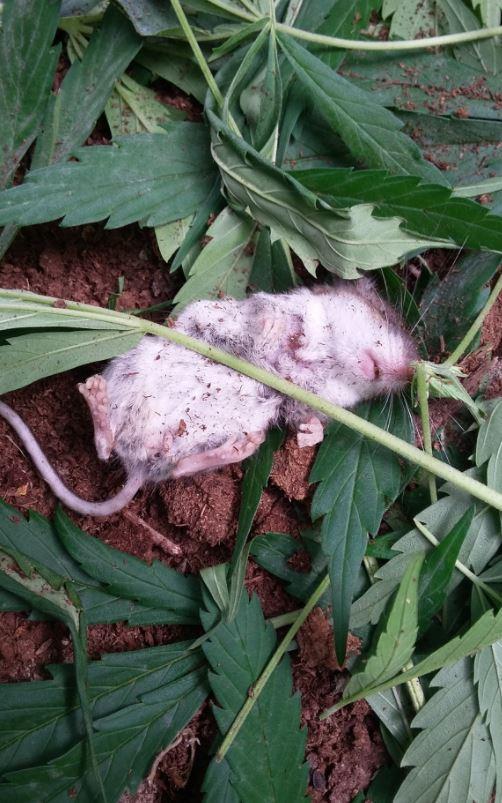 चूहे को गांजा की लत  - rat1
