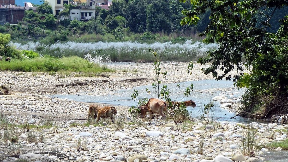 Tigress hunted Cow with three cubs Ramnagar
