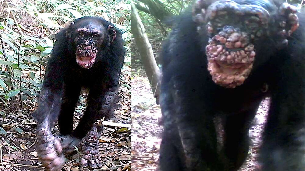 Leprosy in Chimpanzees scientist shocked