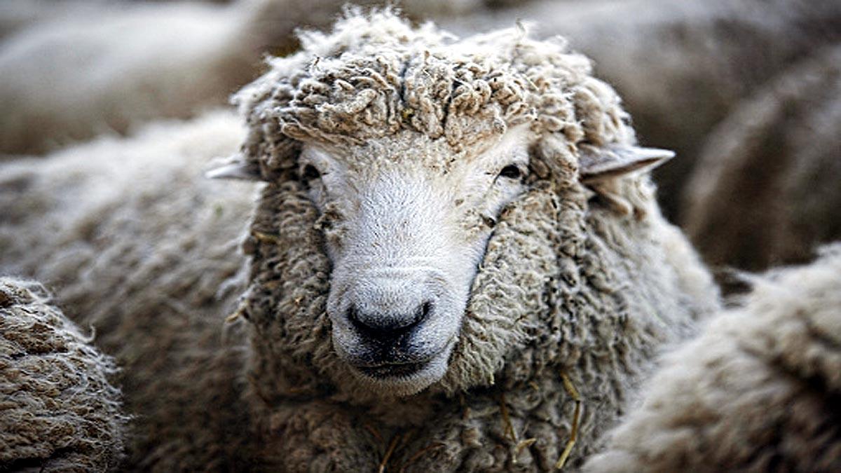 पांच साल में भेड़ के शरीर पर 35 किलो ऊन