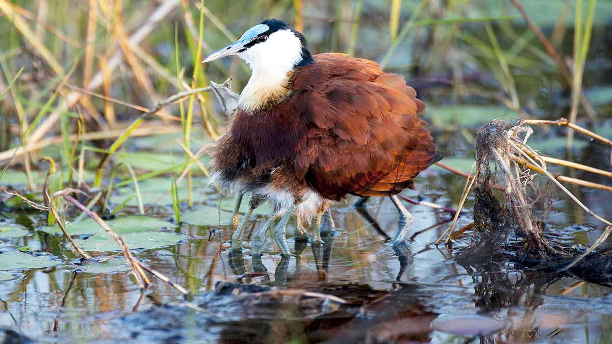 कभी देखा है 8 पैरों वाला पक्षी...जानिए इस हैरान करने वाली चिड़िया के बारे  में - Science AajTak