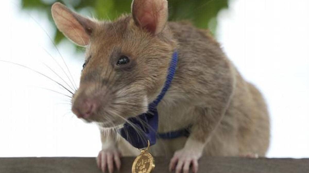 चूहे को दिया गया वीरता पुरस्कार (Photo: PDSA)
