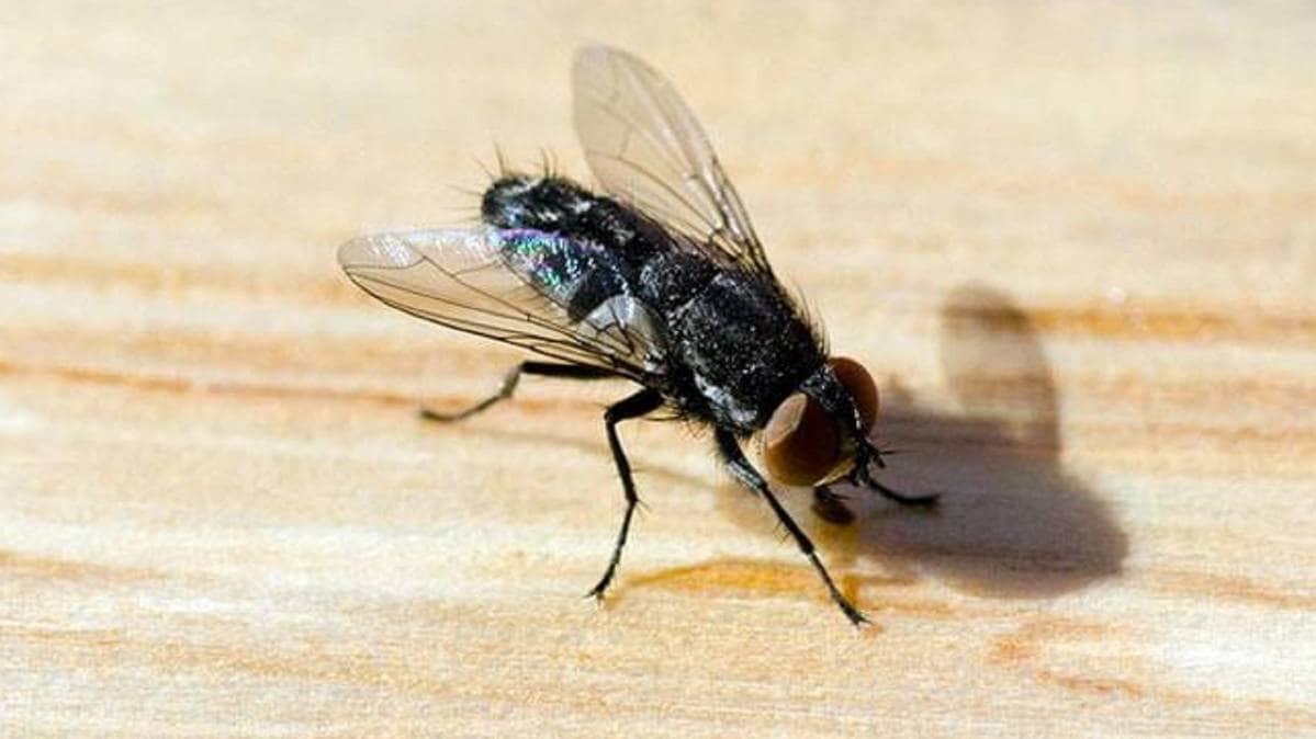 क्या मक्खी फैला सकती है कोरोना वायरस? - Can a housefly spread coronavirus?  - Coronavirus AajTak