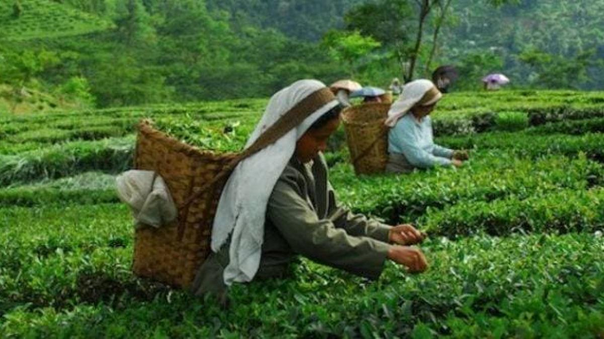 India's tea exports decline 14.4% in January-July