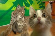 Lynx gives all her love to three orphan kittens at a zoo in Siberia