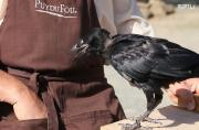 Trained crows pick up litter in a French amusement park