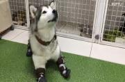 Ruta the dog learns to walk after frostbite amputation