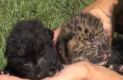 These cute leopard cubs will make you feel warm and fuzzy inside