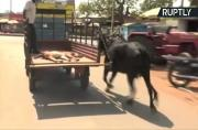 Worried Mama Cow Runs Behind Truck Carrying Her Baby Calf to Hospital