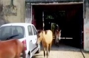 Only in India: Donkeys detained in UP after they eat plants in a jail
