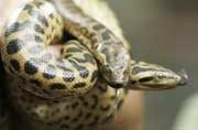 Nomoshkar anacondas: Amazon giants soon in Kolkata, thanks to this TN reptile bank