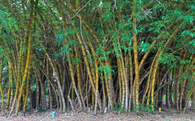 is bamboo tree or grass modi government solves puzzle india news