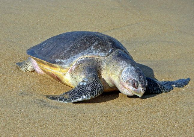 Olive Ridley turtles return to Versova beach after 20 years