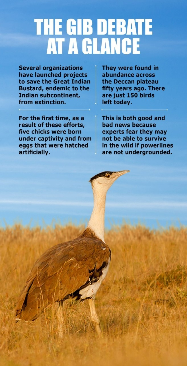 The Battle to Save the Great Indian Bustard - India Today