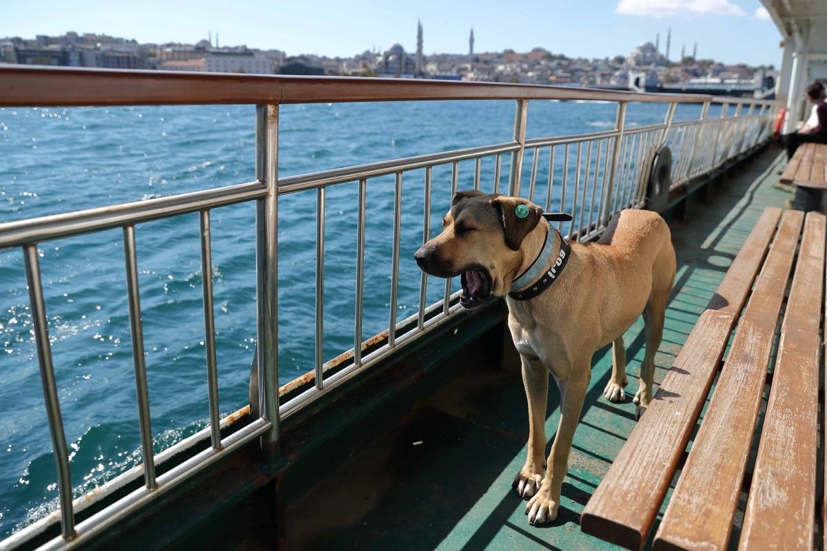 Meet Boji, a street dog, who is Istanbul commuters' best friend. Viral pics - Trending News News