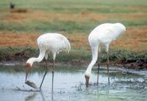 Migratory birds facing extinction