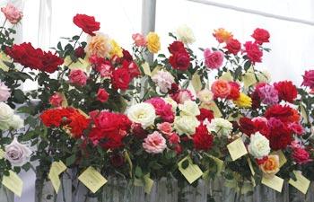 Rose exhibition