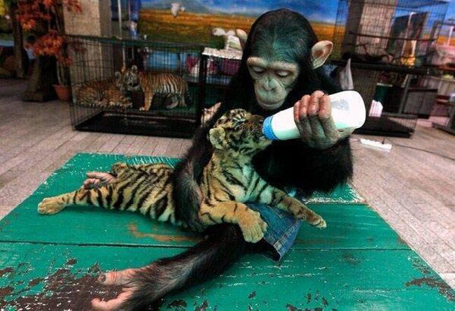 A chimpanzee feeds a tiger cub.