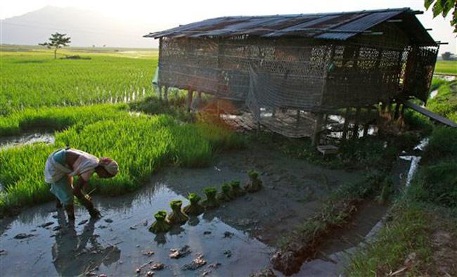 Woman working in paddy field in Assam