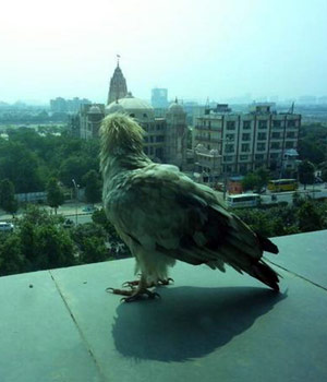 The Egyptian Vulture, also called the White Scavenger Vulture or the Neophron Percnopterus, its scientific name, is an endangered species of birds that was recently spotted in New Delhi by birdwatchers.