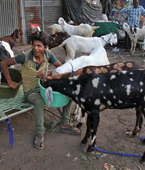 An Indian man feeding his goats