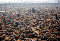 Nepal's killing fields: 10 photos of mass animal slaughter during Gadhimai festival