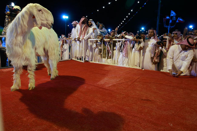 Maaz Al Shami (Damascene goat)