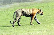 Royal Bengal tiger kills boar in Ranthambore