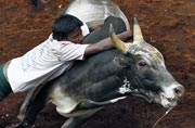 Check out Jallikattu, India's bull taming festival