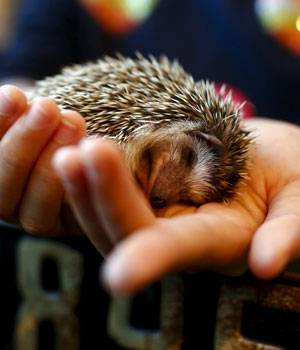 A woman holds a hedgehog at the Harry Hedgehog cafe in Tokyo, Japan, on April 5, 2016. In a new animal-themed cafe, 20 to 30 hedgehogs of different breeds scrabble and snooze in glass tanks in Tokyo's Roppongi entertainment district.