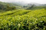 IN PICS: 10 of the most beautiful tea gardens in the world