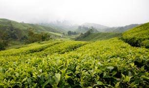These tea gardens are so beautiful that they will inspire you to travel.