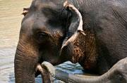 A 10-year old elephant stuck in swamp in Assam