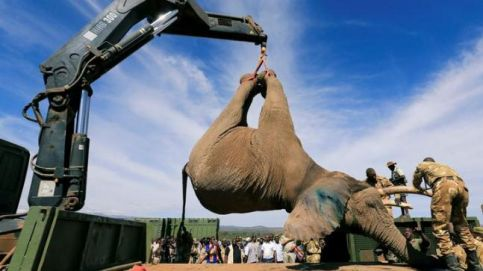 Kenya Wildlife Service rangers move elephant during translocation excercise | PICTURES