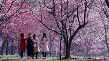 Cherry blossoms in Kunming