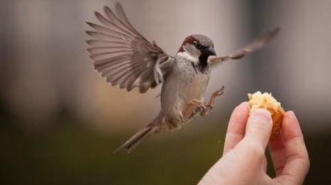 The House Sparrow