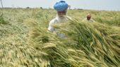 Farmers examine losses as Heavy rain damages crops in Amritsar, Punjab. Photo: Prabhjot Gill