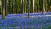 Bluebell, the flower of May in full bloom | IN PICTURES