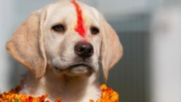 A dog being honoured during Nepal Dog Festival.
