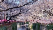 Japan welcomes cherry blossom season with breathtaking pics. 20 photos of Sakura 2019