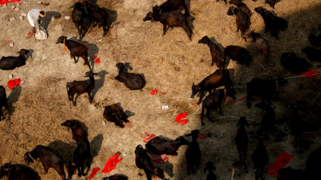 Nepal's Gadhimai festival in photos: A Hindu ceremony of mass animal slaughter