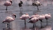 Thousands of flamingos colour Navi Mumbai creek a stunning pink. In pics