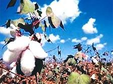 Bt cotton has failed: Monsanto