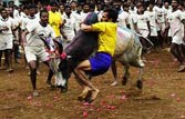Pongal: Court allows Tamil Nadu's bull taming sport with riders