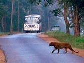 Karnataka govt approves bypass for killer road in tiger reserve