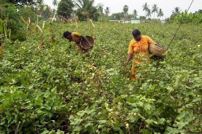 Bt cotton farmers