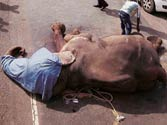 Speeding truck kills elephant, injures another in Noida
