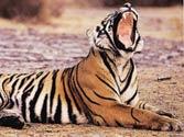 Sariska has failed its tigers